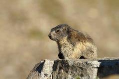 Piccola marmotta Fotografia Stock Libera da Diritti