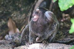 Piccola masticazione della scimmia Fotografia Stock