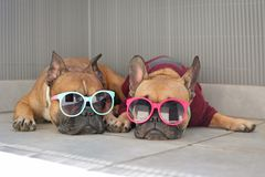 Piccola menzogne marrone divertente dei cani del bulldog francese rilassata in ombra di estate che indossa gli occhiali da sole v fotografia stock