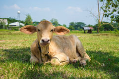 Piccola mucca Immagine Stock