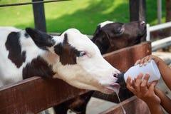 Piccola mucca del bambino che si alimenta dalla bottiglia per il latte Fotografie Stock