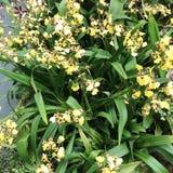 Piccola orchidea della tigre fotografia stock libera da diritti