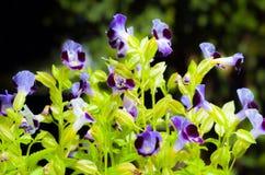 Piccola orchidea porpora Fotografia Stock