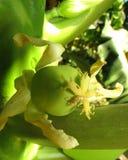 Piccola papaia Fotografie Stock Libere da Diritti
