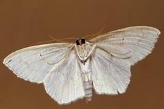 Piccola parte di sotto bianca del lepidottero Fotografie Stock