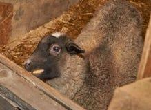 piccola penna dell'agnello che mangia Apple Fotografia Stock Libera da Diritti