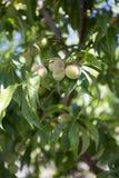 Piccola pesca verde non matura sull'albero in un frutteto Immagine Stock