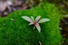 Piccola pianta che cresce in mezzo al muschio Fotografia Stock Libera da Diritti