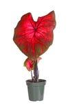 Piccola pianta conservata in vaso del caladium pronta per trapiantare Immagine Stock