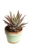 Piccola pianta conservata in vaso dell'aloe contro bianco Immagine Stock Libera da Diritti