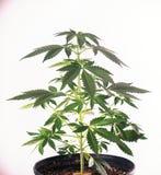 Piccola pianta conservata in vaso della cannabis a 4 settimane sopra backg bianco Immagini Stock