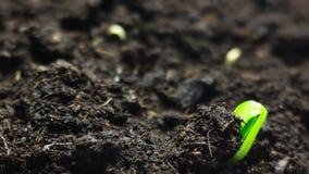Piccola pianta crescente che cresce nella terra Lasso di tempo Bella natura, simbolizzante i cicli di vita, nuove idee, tempo di  archivi video