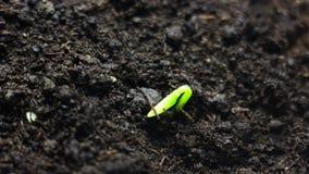 Piccola pianta crescente che cresce nella terra Lasso di tempo Bella natura, simbolizzante i cicli di vita, nuove idee, tempo di  video d archivio