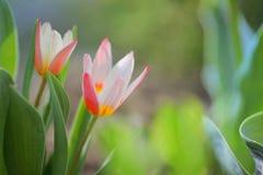 Piccola pianta crescente del tulipano Fotografia Stock