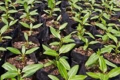 Piccola pianta del fiore di roseus del catharanthus Fotografia Stock