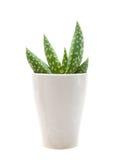 Piccola pianta dell'aloe Fotografie Stock Libere da Diritti