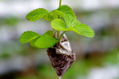 Piccola pianta della fragola Fotografia Stock Libera da Diritti