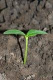 Piccola pianta della macro del cetriolo Immagine Stock Libera da Diritti