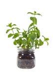 Piccola pianta della menta in barattolo di vetro Fotografia Stock