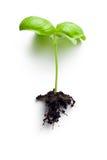 Piccola pianta di basilico fotografia stock libera da diritti