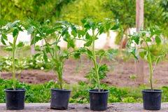 Piccola pianta di pomodori verde del germoglio sul vaso prima della piantatura fotografie stock