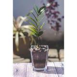 Piccola pianta di soldi in un vaso di vetro fotografie stock