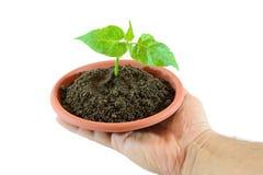 Piccola pianta a disposizione Immagine Stock
