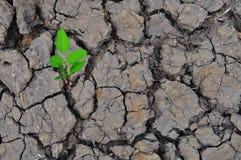 Piccola pianta in fango incrinato secco Fotografia Stock
