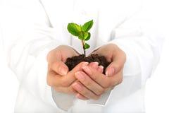 Piccola pianta in mani. Immagine Stock