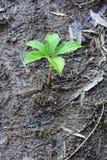 Piccola pianta su suolo Fotografie Stock Libere da Diritti