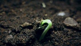 Piccola pianta verde che cresce dalla terra, lasso di tempo di germinazione di estate di primavera, concetto di evoluzione video d archivio