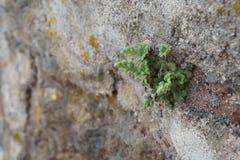 Piccola pianta verde che cresce in una parete Fotografia Stock Libera da Diritti