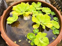 Piccola pianta verde chiaro in terraglie dell'acqua Fotografie Stock