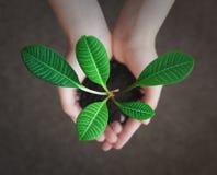 Piccola pianta verde nelle mani Immagine Stock