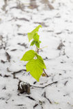 Piccola pianta verde su una neve Fotografia Stock