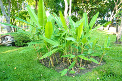 Piccola piantagione del banano immagini stock libere da diritti