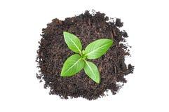 Piccola piantina verde che cresce dal mucchio di suolo Fotografia Stock