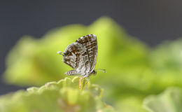 Piccola posa della farfalla Immagine Stock