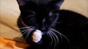 Piccola pulizia in bianco e nero lei stessa del gattino archivi video