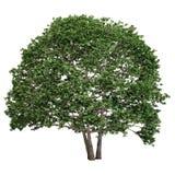 Piccola quercia isolata Fotografia Stock Libera da Diritti