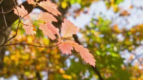 Piccola quercia rossa con le foglie luminose, pentola di tempo di autunno video d archivio