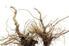 Piccola radice marrone della pianta Immagini Stock