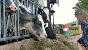 Piccola ragazza bionda che dà erba verde alla mucca in bianco e nero ed alla risata Alimentazione degli animali, Eco che coltiva  archivi video