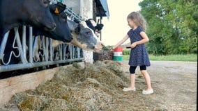 Piccola ragazza Bionda-dai capelli che dà erba verde alle mucche in bianco e nero ed alla risata Alimentazione degli animali, Eco video d archivio
