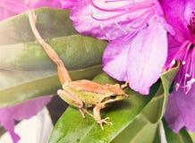 Piccola rana che allunga gamba mentre dentro dei fiori selvaggi durante la b Immagini Stock