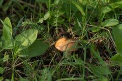Piccola rana che si siede su un cappello del fungo immagine stock