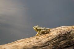 Piccola rana malinconica sui precedenti del lago dell'acqua blu Fotografia Stock Libera da Diritti