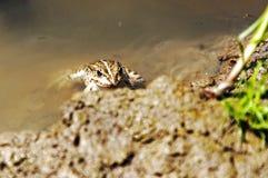 Piccola rana nell'acqua Immagine Stock