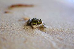 Piccola rana sulla sabbia sulla spiaggia del mare Fondo della sabbia Amphi Fotografia Stock