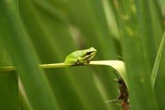 Piccola rana verde Fotografia Stock Libera da Diritti